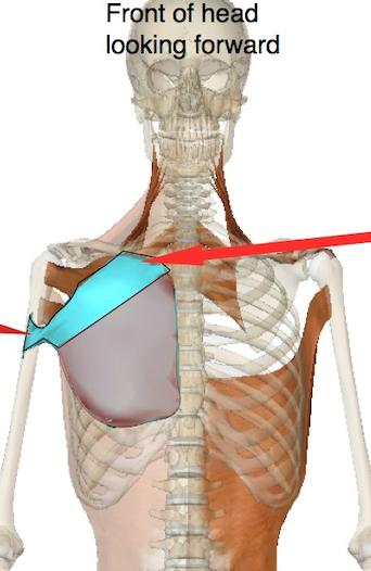 Pectoralis major clavicular muscle